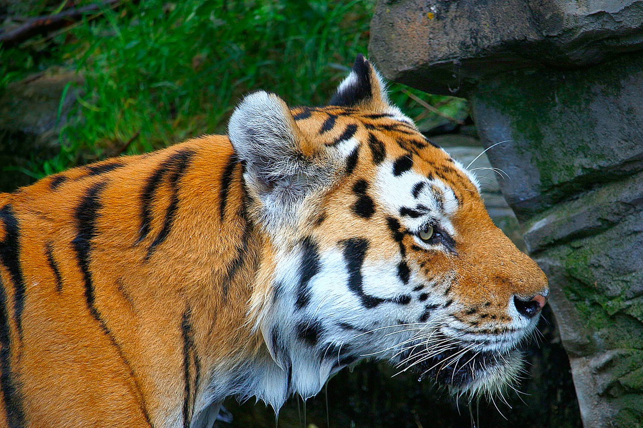 Quelle: https://pixabay.com/de/tiger-orange-wei%C3%9F-schwarz-tier-1626871/
